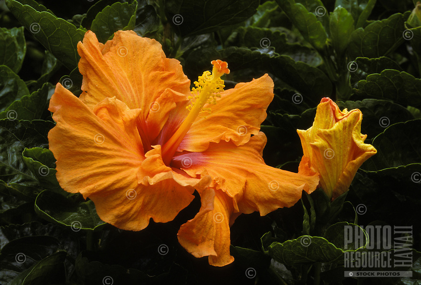 Orange hibiscus bush flower(malvaceae), often used in island landscaping