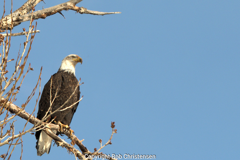 Montana wildlife photos - eagles