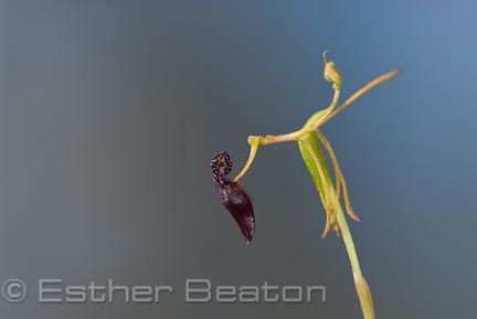 Dwarf Hammer Orchid (Drakaea micrantha) labellum looks like female wasp. Western Australia.