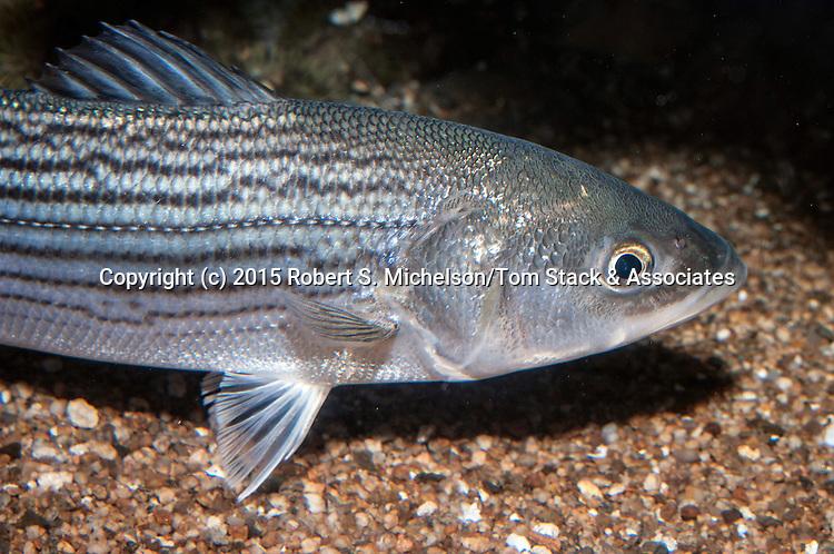Striped bass juvenile swimming right medium shot
