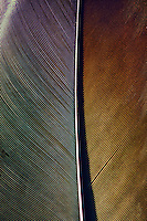 Bald Eagle feather