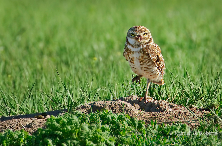 A burrowing owl (Athene cunicularia) stands near its burrow on the Pawnee National Grasslands, northern Colorado.