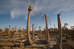 Dead palm trees outside Siwa Town in the Siwa Oasis, Egypt.