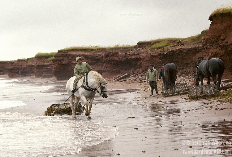 Irish Moss Harvesting, North Cape, PEI