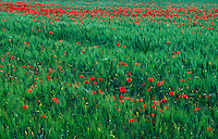 Poppy field in Provence.