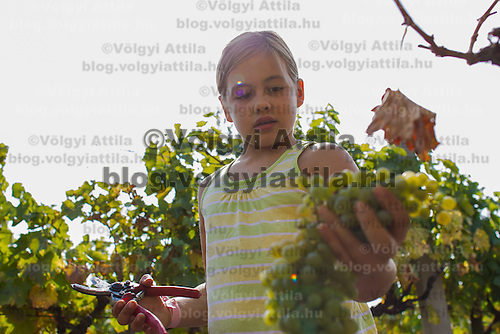 Grape harvest in Etyek, Hungary on September 29, 2012. ATTILA VOLGYI
