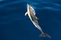 short-beaked common dolphin, Delphinus delphis, spouting, blowing, Azores, Portugal, Atlantic Ocean