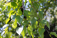 Moor-Birke, Moorbirke, Haar-Birke, Besen-Birke, Behaarte Birke, Betula pubescens, Betula alba, downy birch, moor birch, white birch, downy-birch, moor-birch, white-birch, European white birch, hairy birch, Le Bouleau pubescent