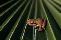 War is waged on the Coqui frog because its numbers are exploding--and it has no predators. <br /> The Coqui--much revered in its native Puerto Rico--was first imported on plant material. The Coqui is as large as a quarter and has a chirpy little call that is the decibel level of a lawnmower. <br /> <br /> Lawsuits now force homeowners to disclose the fact they have frogs because Hawaiians are so upset by the noise. The community of Pahoa, south of Hilo and near Lava Tree State Park, <br /> bought a 10,000 gallon sprayer and is coating the jungle in their backyards with hydrated lime, which they hope will curb the numbers. Dr Arnold Hara from the Univ of Hawaii, helped <br /> them apply for funding. <br /> <br /> Eleutherdactylus coqui has the ability to quickly adapt to Hawaii from its native Puerto Rico and has reached unprecedented numbers.  The absence of predators, and its noisy mating behavior have made the coqui frog the target of government and community eradication and control efforts.