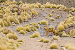 Culpeo (Lycalopex culpaeus) fox in puna grassland, Abra Granada, Andes, northwestern Argentina