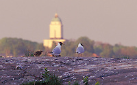 Black-headed Gull family with Suomenlinna Lighthouse in background