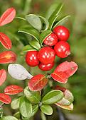 Cowberry Redleaf - Exobasidiium vaccinii