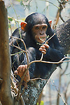 Titan eats leaves.Young eastern male chimpanzee (Pan troglodytes schweinfurthii).Gombe National Park, Tanzania