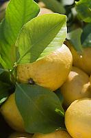 Europe/Provence-Alpes-Côte d'Azur/83/Var/Saint-Tropez: Détail citrons de la Côte d'Azur sur le marché de la Place des Lices