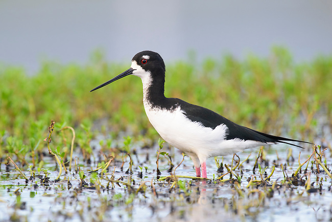 The Hawaiian Stilt (Himantopus mexicanus knudseni) is an endangered subspeices of the Black-necked Stilit. Oahu, Hawaii. January.