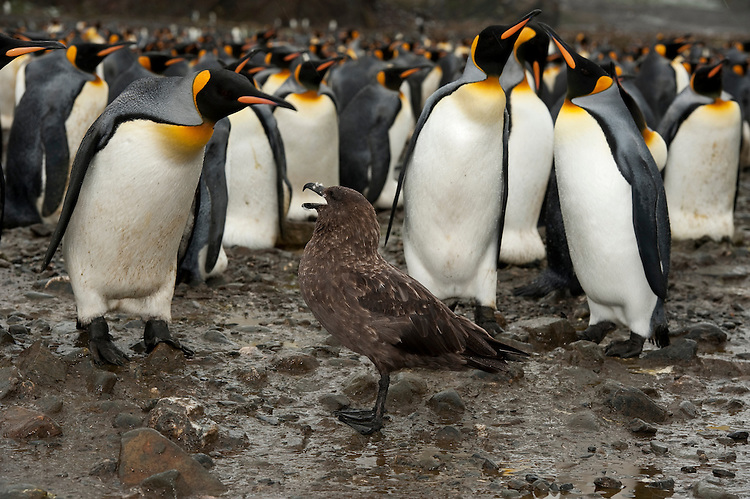 A Brown Skua (Stercorarius antarcticus) and a King Penguin (Aptenodytes patagonicus) face off, amongst a large King Penguin colony, Fortuna Bay, South Georgia
