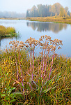 Grand Teton National Park, WY: Hoary Cress (Lepidium draba) on the bank of the Snake River in fall