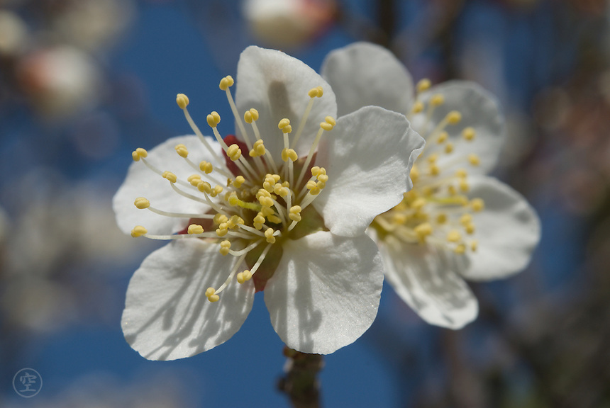 Detail of a flowering ume plum (prunus mume) in the spring in Japan.