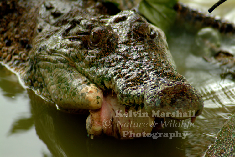 This is a close up shot of a Salt water crocodile showing half of its bottom jaw missing possibly been blown off by a high powered rifle.