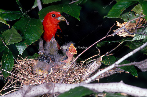 Scarlet Tanager, Piranga olivacea, male at nest feeding young; Indiana