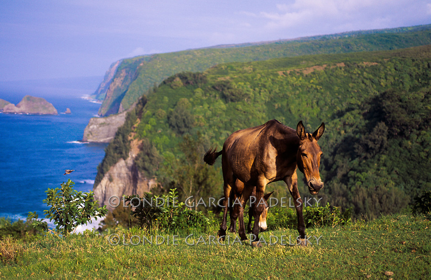 Mules on Tropical Hillside
