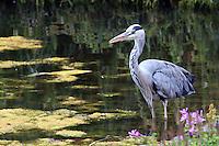A beautiful heron poses alongside a London park's pond.
