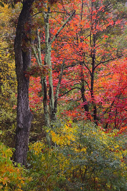 Red Tree, Shenandoah NP, VA