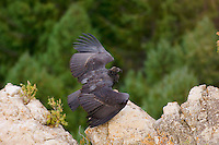 Immature California Condor (Gymnogyps californianus).  Western U.S.    Note:  This bird has no tags--it is a wild born condor that has not been caught and tagged at the time of this photo.  It is the only wild condor without tags.