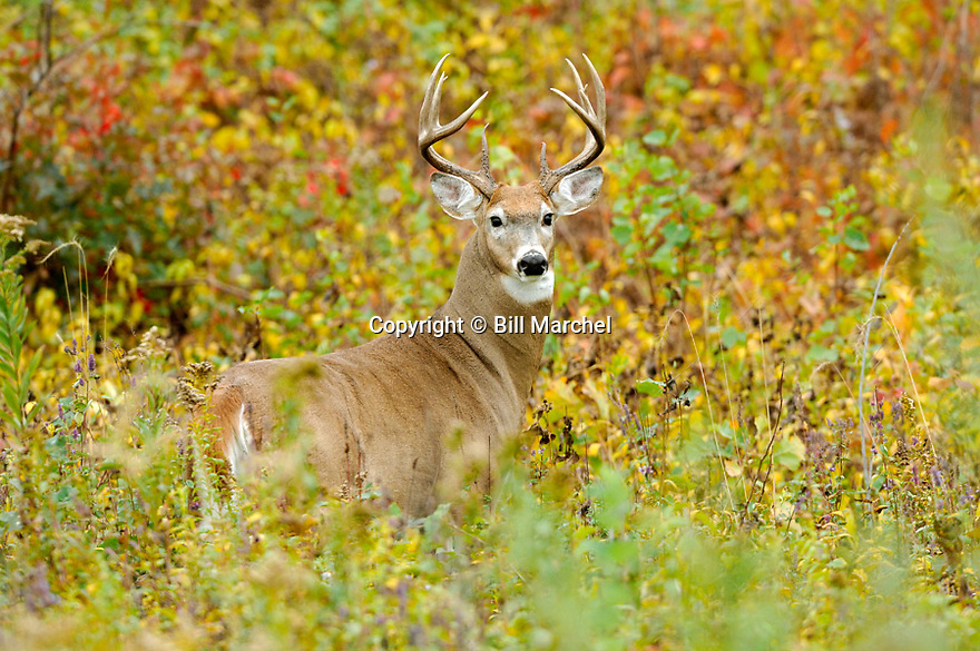 00274-321.01 White-tailed Deer Buck with large antlers is among fall color.  Clearcut, burn, hunt, regrowth.  H5R1