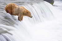 Brown bear (grizzly bear) waits for salmon at Brooks Falls. Blurring of the water is caused by a long shutter speed. Brooks River, Katmai National Park, Alaska, Ursus arctos middendorffi, Alaska, USA