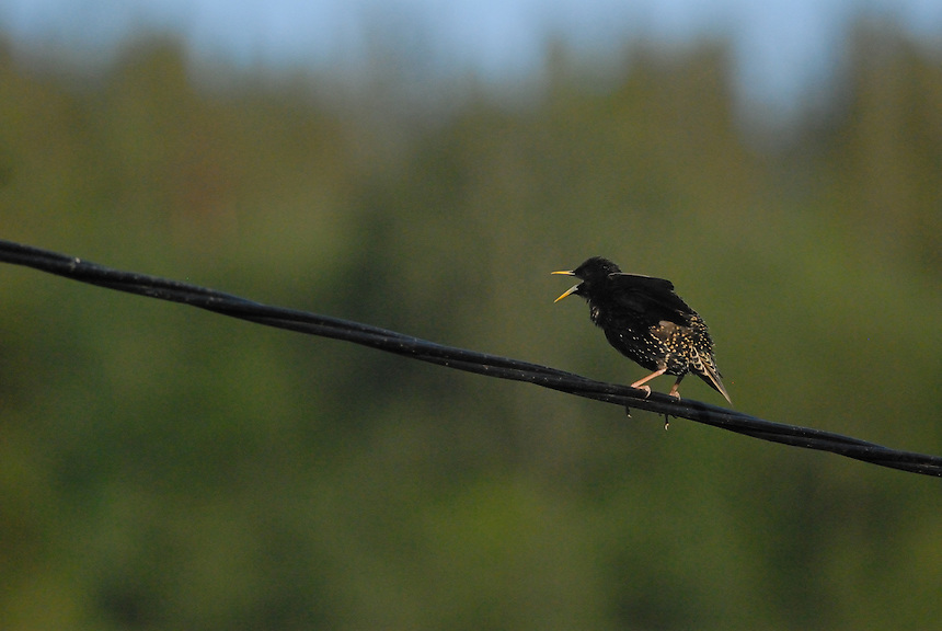 Sturnus Vulgaris,Norway
