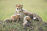 SEE OUR MAIN SHOT<br /> <br /> A family of newborn cheetah cubs crouch together and look innocently out at the world around them.  Cheetahs usually give birth to a litter of three to five cubs, and because the young are very vulnerable to predators, such as lions and leopards, many are killed before they reach adulthood.<br /> <br /> This family is made up of a mother, Siligi (meaning hope in Swahili) and her seven cubs, six of whose faces can be seen in the photo with the seventh lying just visible behind them.  Rangers have been protecting Siligi and her cubs since she gave birth in an area of deserted grassland called Kisincha, in the Masai Mara, Kenya.  SEE OUR COPY FOR DETAILS.<br /> <br /> Please byline: Antonio Liebana/Avalon/Solent News<br /> <br /> © Antonio Liebana/Avalon/Solent News & Photo Agency<br /> UK +44 (0) 2380 458800