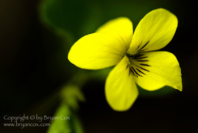 Yellow wood violet (Viola glabella), Coast mountain range, Oregon
