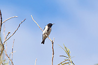 Black Honeyeater, Arid Lands Botanic Garden, Pt Augusta, SA, Australia