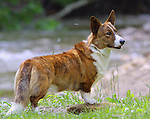 Corgi - Cardigan Welsh