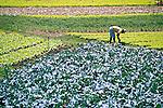 Plantação de hortaliças em Teresopolis. Rio de Janeiro. 2014. Foto de Luciana Whitaker.