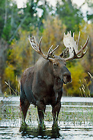 Bull Moose (Alces alces).  Western U.S., Fall.