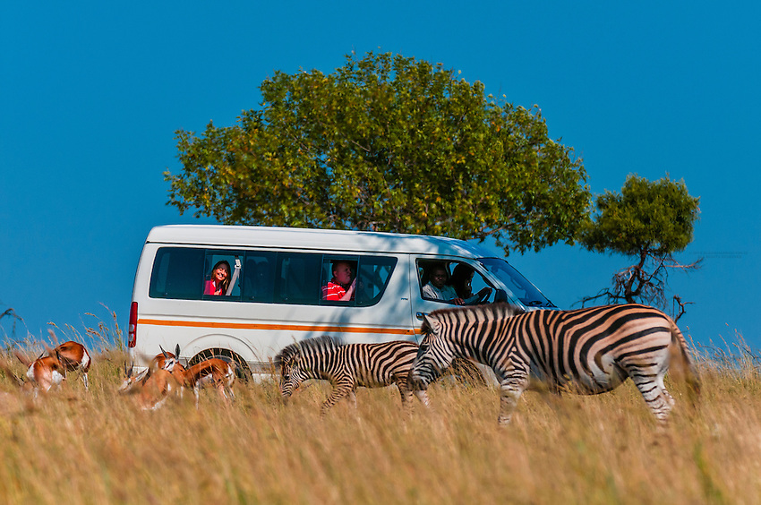 A tour bus watches zebras at close range, Lion Park, near Johannesburg, South Africa.