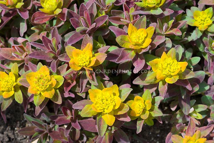 Euphorbia polychroma 'Bonfire' in flower