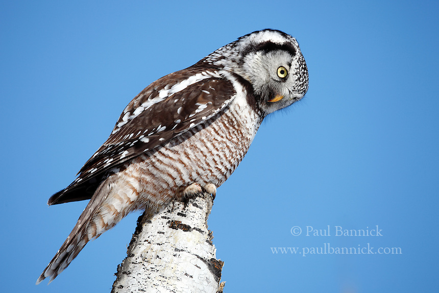 A Northern Hawk Owl, Surnia ulula, peers across an opening in the Manitoba boreal forest, looking for food.