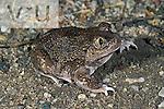 Western Spadefoot Toad (Scaphiopus hammondii) Tuscon, Arizona