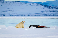 polar bear, Ursus maritimus, feeding on a narwhal, on ice floe edge, Arctic Ocean, Canada