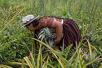 """A Quechua female coca grower known as """"cocalero"""", harvests pineapples from the family crops, in Entre Rios, Chapare province, Bolivia. November 28, 2019.<br /> Une cultivatrice de coca quechua, connue sous le nom de """"cocalero"""", récolte des ananas dans les cultures familiales, à Entre Rios, province du Chapare, Bolivie. 28 novembre 2019."""