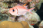 Bonaire, Netherlands Antilles; a Blackbar Soldierfish hovers in a crevice of the coral reef , Copyright © Matthew Meier, matthewmeierphoto.com All Rights Reserved