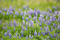 Meadow of lupine blossoms, wildflowers, Katmai National Park, Alaska Peninsula, southwest Alaska.