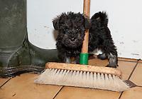 Schnauzer puppy playing in a farmhouse kitchen, Perth, Perthshire, Scotland.