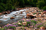 Welcome spring snows and summer rains have produced an abundance of wildflowers in Colorado's mountains and particularly along the North Fork of Lake Creek near Mount Elbert and Buena Vista, Colorado.