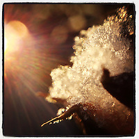 The sun shines on a tuft of snow that sits on a dead rose of sharon flower in our back yard on the morning of January 26, 2013.