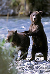 An Alaskan Brown Bear cub standing and leaning on another cub in Southeast, AK.