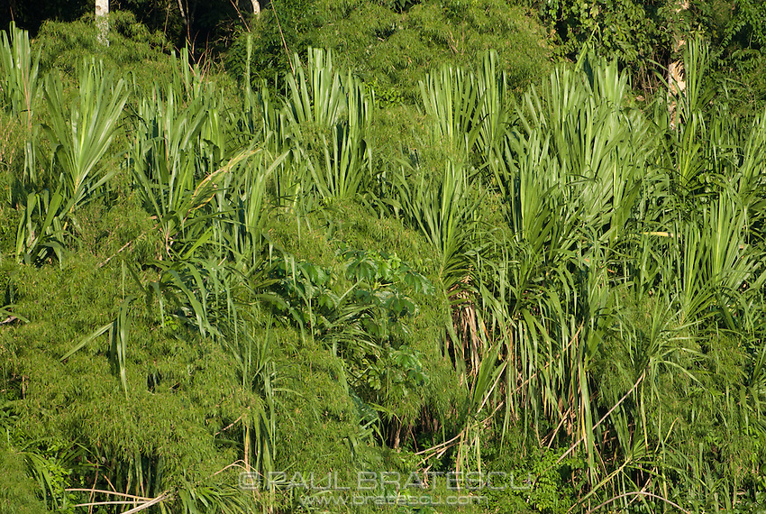 Jungle foliage growing along the banks of the Rio Madre Dios in Peru.
